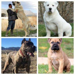 Alabai Dogs