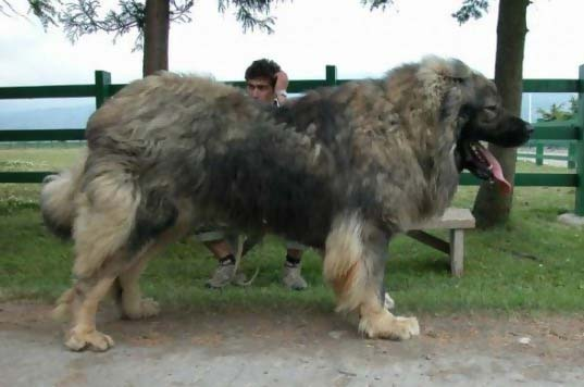 bear hunting dog