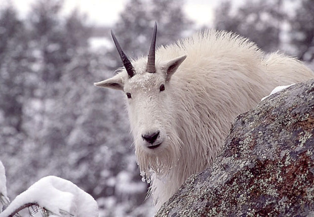 Guide For Hunting Mountain Goats